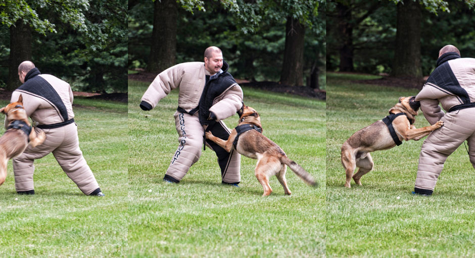 K9 training to take down a man.