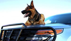Koda K9 from Rooks County Sheriff's Office sitting on hood of police car.