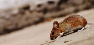 closeup of brown mouse from side